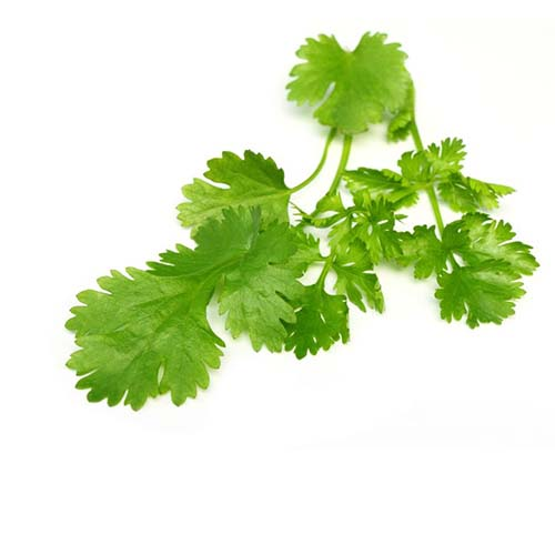 10035901 - fresh coriander leaves